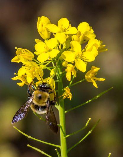 Bee Macro, on Yellow Flower