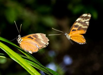 Two Golden Helicon Butterflies