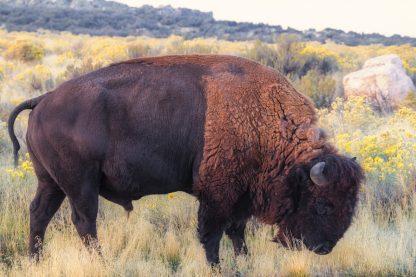 Side View, Grazing Two Toned Buffalo