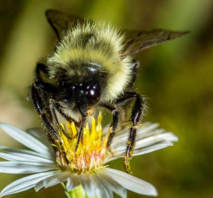 Bee Macro, on Yellow and White Flower