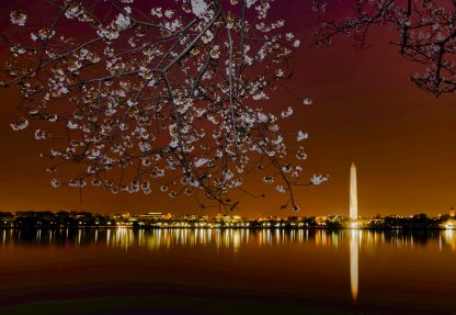 Washington Monument at dawn, with Cherry Blossoms