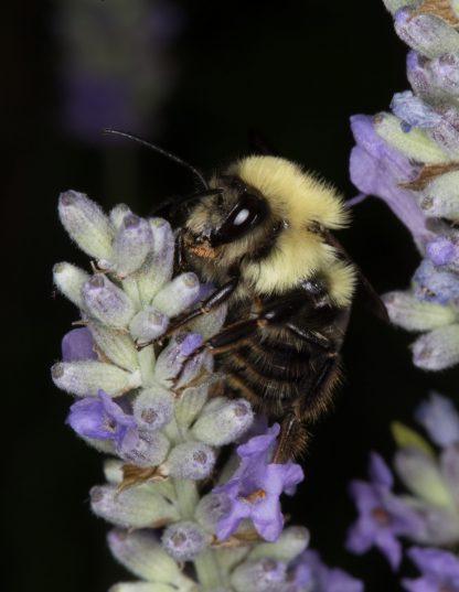 Bee Macro, on Light Purple Flower