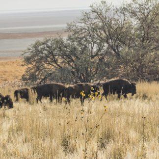 Small Herd of Buffalo