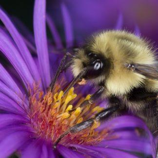 Bee Macro, on Purple and Yellow Flower