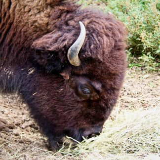 Headshot of Grazing Buffalo
