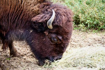 Headshot of Grazing Buffalo