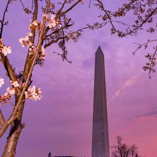 Washington Monument at Sunrise, during Cherry Blossoms
