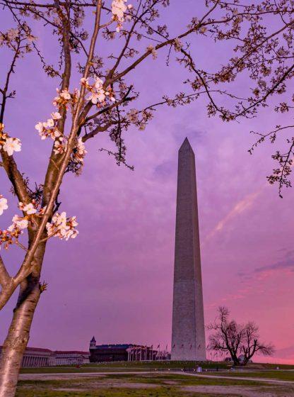 Washington Monument at Sunrise, during Cherry Blossoms