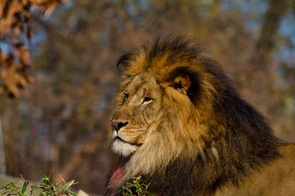 Bloody male lion, resting after eating his meal.
