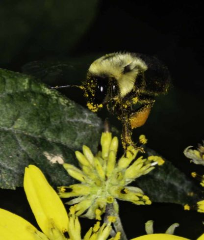 Bee landing on a yellow flower