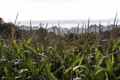 Fog over the corn