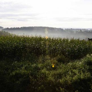 Haze in the cornfield