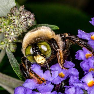 Macro of bee's eyes