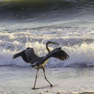 Spread-winged blue heron on beach