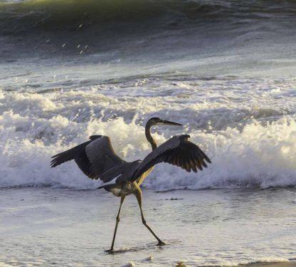 Spread-winged blue heron on beach