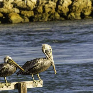 Two Pelicans on a Railing