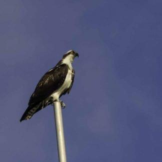 Osprey sitting atop a flagpole