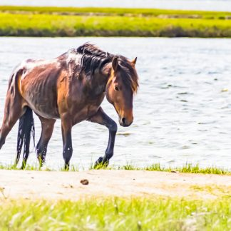 Wild horse at Assateague Island