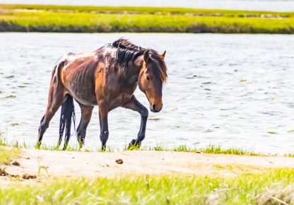 Wild horse at Assateague Island