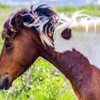 Head shot of Tricolor Wild Horse
