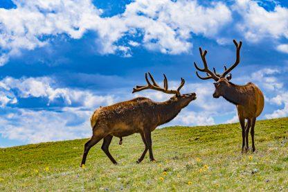 Two Elk Bulls posturing