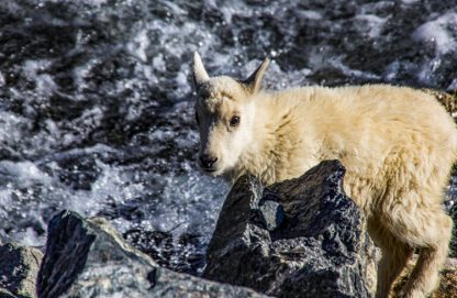 Baby Mountain Goat in Colorado Rockies