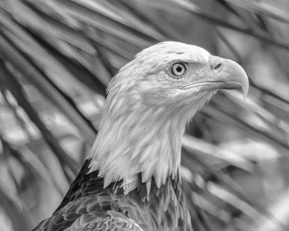 Headshot of Bald Eagle – Black and white