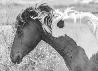Headshot of wild horse
