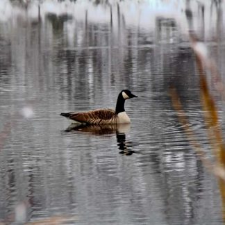 Goose on a pond, in winter