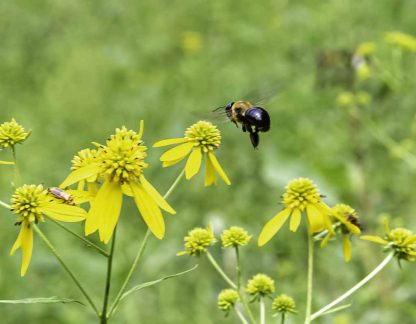 Flying bee approaching yellow flowers