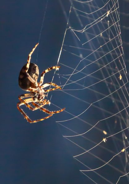 Spider on a web, macro