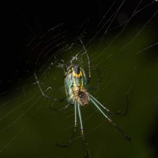 Green and yellow spider